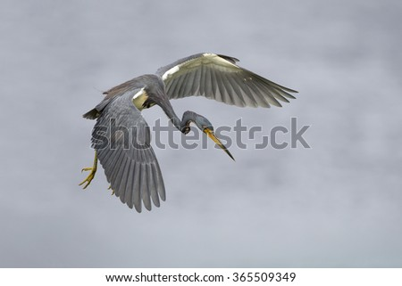 A tricolored heron (Egretta tricolor) in flight as it prepares to plunge for a fish - Florida - stock photo