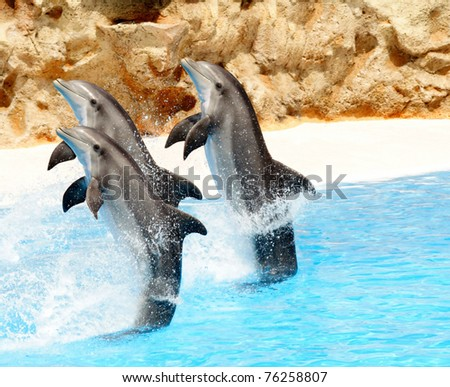 A trio of Bottlenose Dolphis performing tail stands - stock photo