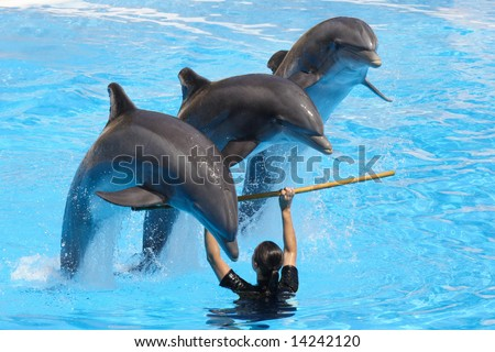 A trio of dolphins leaping over a pole held by a trainer - stock photo
