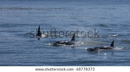 A trio of orcas, also known as killer whales, swimming. - stock photo
