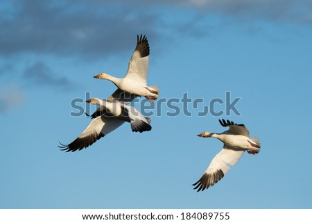 A trio of Snow Geese flying - stock photo