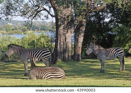 A trio of zebra relaxing in the grounds of the Royal Livingstone hotel on the banks of the Zambezi river - stock photo