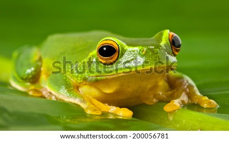 A tropical Australian Orange thighed Tree frog, Litoria xanthomera, sitting on a leaf. - stock photo