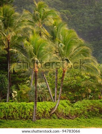 A tropical scene with palm trees and lush, green foliage, near a beach on Kauai, Hawaii. - stock photo