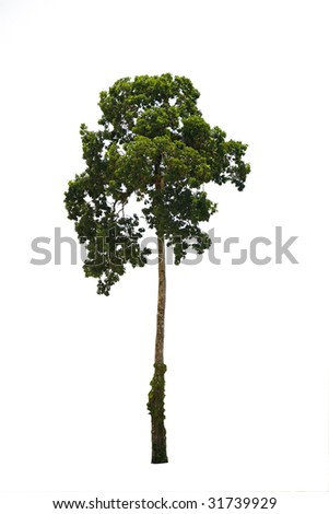 a tropical tree isolated on white background