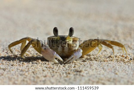 A tropical yellow Caribbean crab on a beach - stock photo