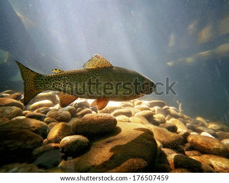 a trout swimming at a local nature center - stock photo