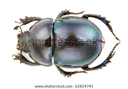 A Trypocopris pyrenaicus, earth-boring dung beetles, isolated on white background. - stock photo