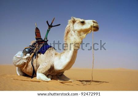 A Tuareg camel with saddle resting in the Sahara desert - stock photo