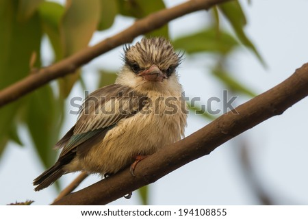 A tubby and fluffy Striped Kingfisher (Halcyon chelicuti) looking at the viewer - stock photo