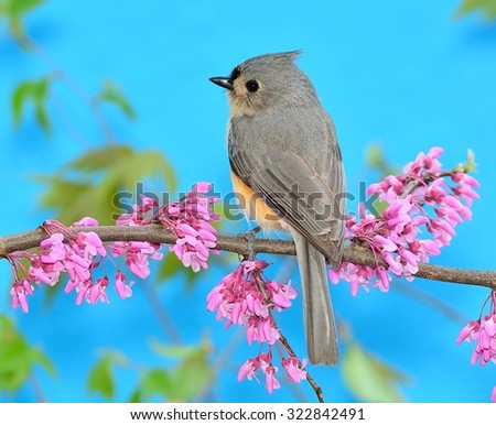 A Tufted Titmouse (Baeolophus bicolor) on a flowering redbud branch with blue sky in the background. - stock photo