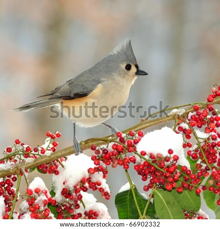A Tufted Titmouse (Parus bicolor) standing on a snowy branch full of bright red berries.