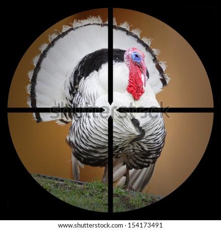 A Turkey in the Hunter's scope.  - stock photo