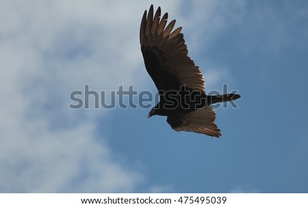 A turkey vulture cruises on a warm updraft -- looking for food.