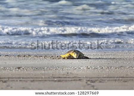 A turtle at 80 mile beach in Australia - stock photo