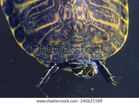 A turtle floats in a dirty pond sunning itself. - stock photo