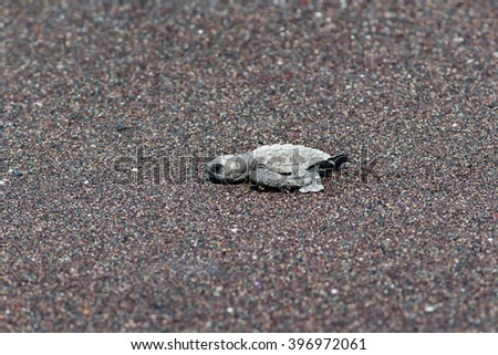 A turtle goes to the ocean - stock photo