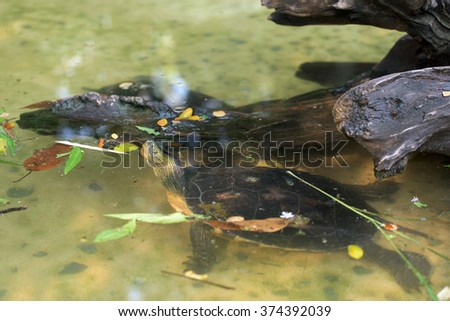A turtle head above pond water surface - stock photo