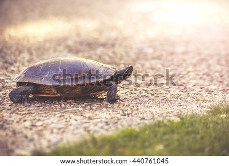 a turtle on a pebble stone path in a park during sunset walking alone toward a pond toned with a vintage retro instagram filter effect app or action - stock photo