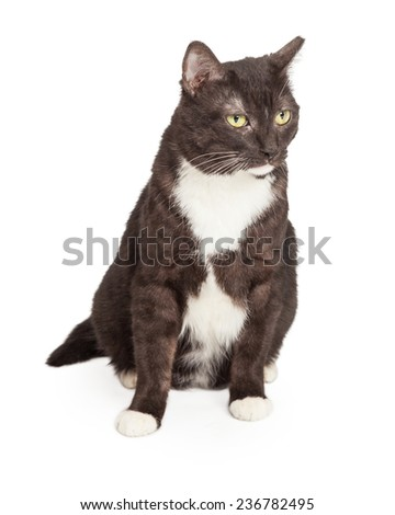 A tuxedo color Domestic Shorthair Cat sitting while looking off to the side.  - stock photo