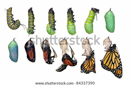 A twelve- step Monarch Butterfly metamorphosis (Danaus plexippus) capturing this remarkable creatures miraculous life cycle. - stock photo