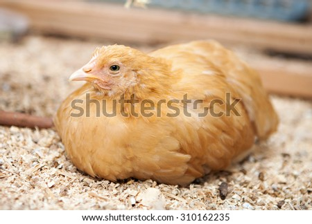 A two month old chicken raised in a backyard homestead - stock photo