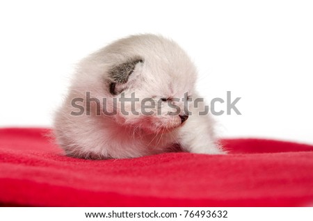 A two week old kitten that just opened its eyes resting on red blanket