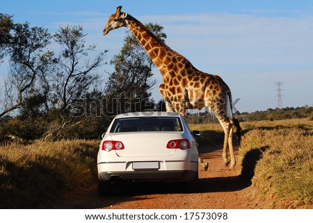 A typical African scene: white car driving on a gravel road and big giraffe crossing - stock photo