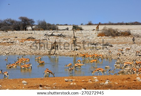 A typical African waterhole with Giraffe drinking with Zebra and springbok - stock photo