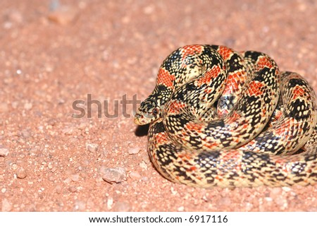 A typical longnose snake found in the Arizona desert. - stock photo