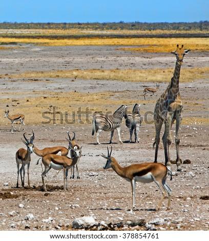 A typical plains scene in Etosha with Giraffe, Zebra and springbok  with a bright blue sky - stock photo