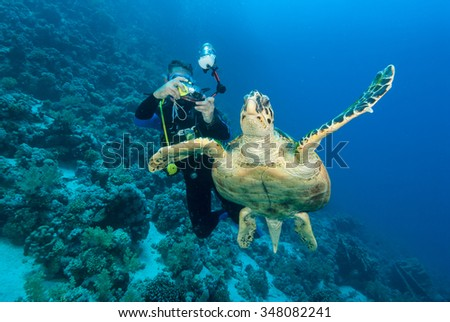 A underwater photographer taking photographs of a graceful hawksbill sea turtle gliding through the clear blue water - stock photo