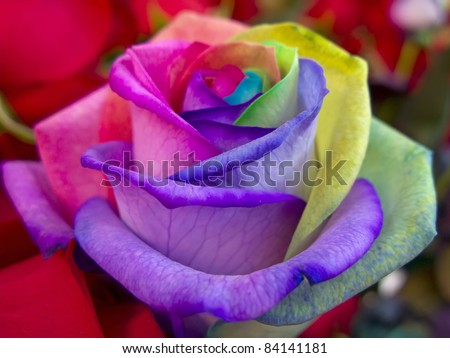 A unique and very special rainbow rose - stock photo