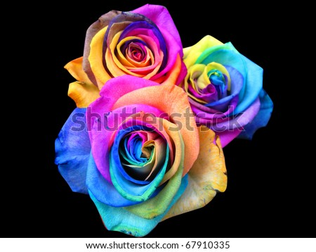 A unique and very special rainbow roses, isolated in black - stock photo