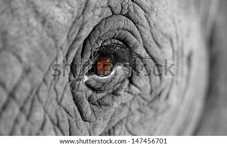 A unique look into the eye of one of the worlds most loved animals,the African elephant. I did a focal black and white conversion to enhance the effect. Taken in South Africa. - stock photo