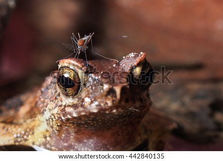 A Uranotaenia mosquito feeding on a toad in a jungle - stock photo