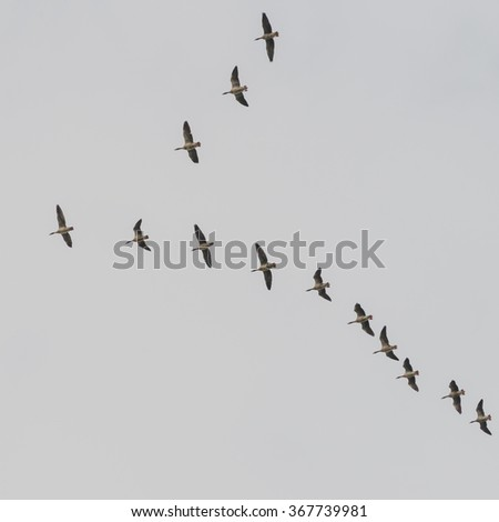A V shaped formation of geese flock together through a grey sky. - stock photo