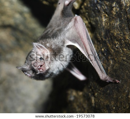 A vampire bat hanging from a wall of its cave - stock photo