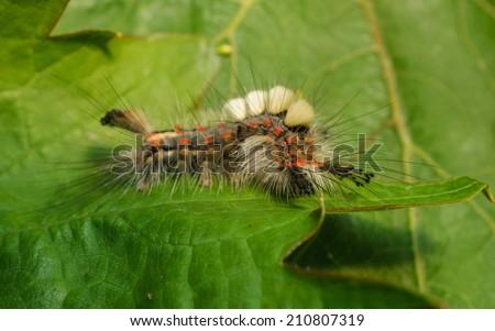A Vapourer moth caterpillar - stock photo