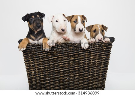 A variety of colored Bull Terrier puppies in a basket - stock photo