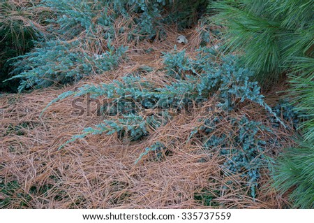 A variety of evergreen shrubs, plants, and ground covers blanketed with Eastern White Pine Tree needles that are shed each autumn. - stock photo
