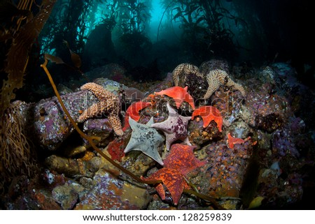 A variety of seastars, mainly batstars, crawl over the rocky bottom of a Monterey kelp forest searching for a meal.  Many colorful creatures are found living among the kelp forests of California. - stock photo