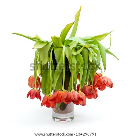 A vase full of droopy and dead flowers (tulips).  Isolated on white.