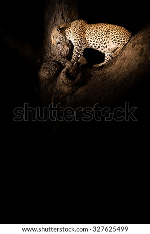 A vertical, colour image of a leopard, Panthera pardus, lit by spotlight against a black backgroung, waiting in a tree at Elephant Plains, Sabi Sands Game Reserve, Mpumalanga Province, South Africa. - stock photo