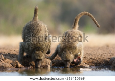A vertical, colour photo of two baboons drinking, one holding a young baby baboon who is looking at the camera - stock photo