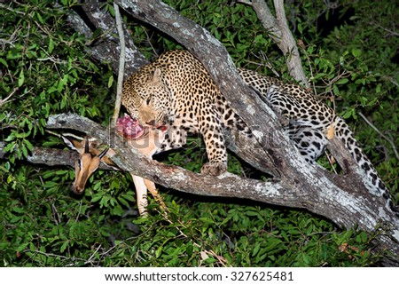 A vertical, colour photograph of a leopard, Panthera pardus, feeding on a kill - an impala - up a tree at Elephant Plains, Sabi Sands Game Reserve, Mpumalanga Province, South Africa. - stock photo