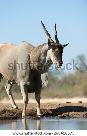 A vertical, colour photograph of an eland bull with his tongue out at a waterhole. - stock photo