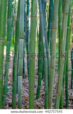 A vertical image of a grove of bamboo trees - stock photo
