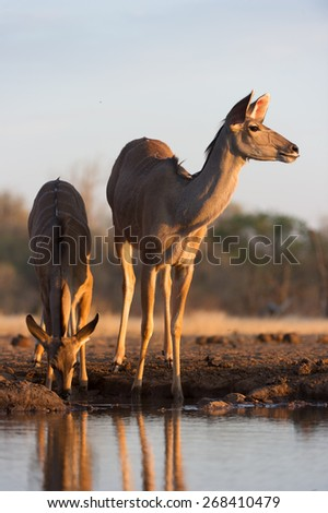 A vertical photo of a kudu and her calf at a waterhole in golden light - stock photo