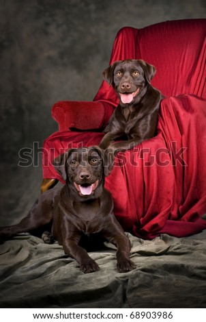 A vertical portrait of two, one-year old chocolate labs. - stock photo